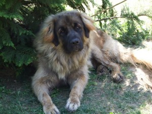 leonberger Fabre Sedmidomky 1y.
