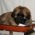 puppy leonberger sedmidomky