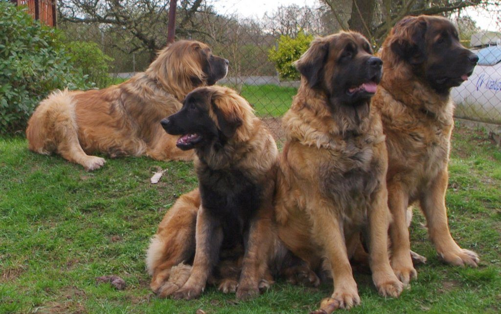 leonberger Sedmidomky