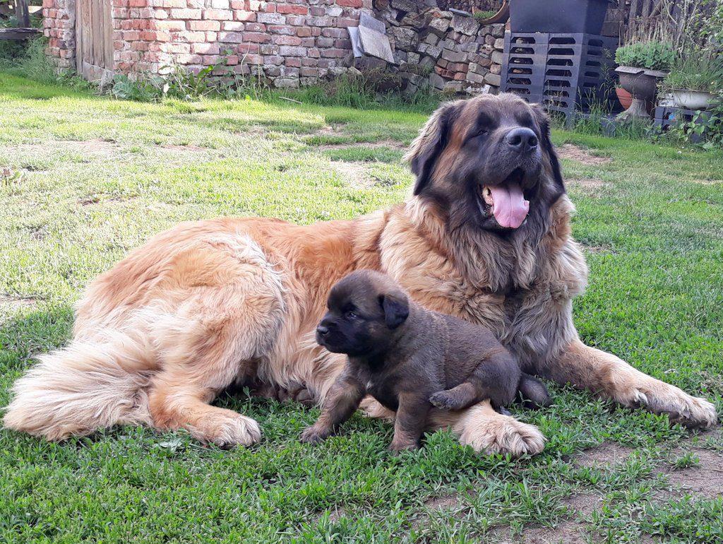 leonberger štěně Erki a Matyas