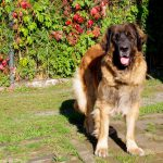 leonberger 5 years