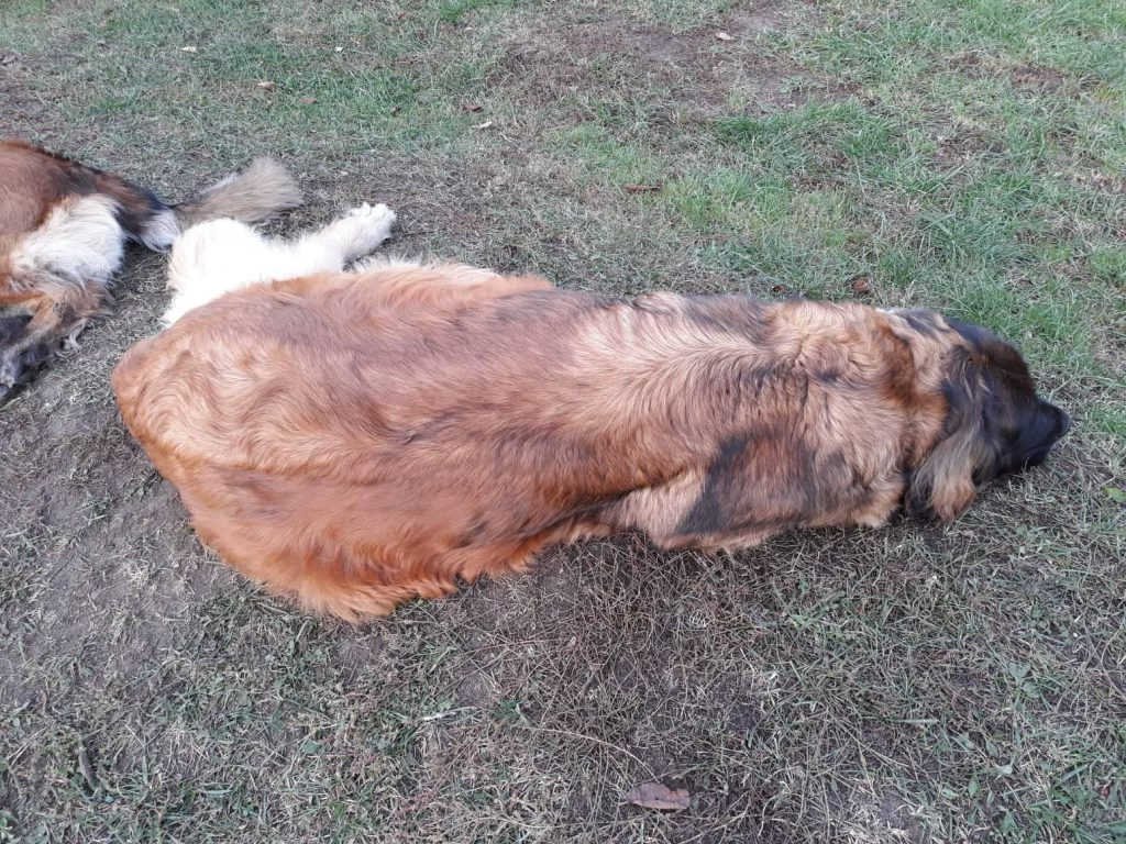 leonberger female