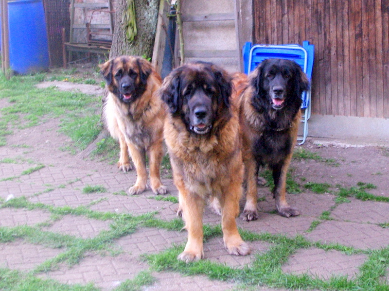 lleonbergers Sedmidomky